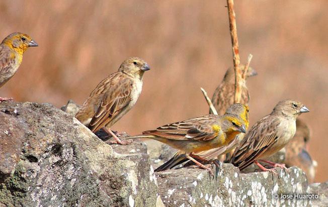 raimondi's_yellow-finch