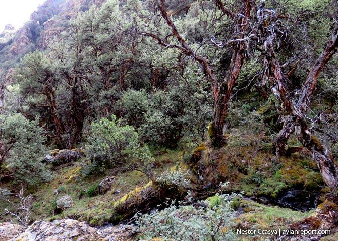 trunks_Polylepis Woodlands