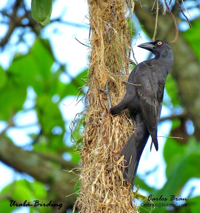cowbird-nest parasitism in birds