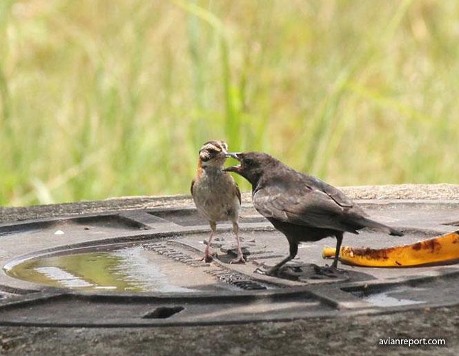 nest parasitism in birds-cowbird