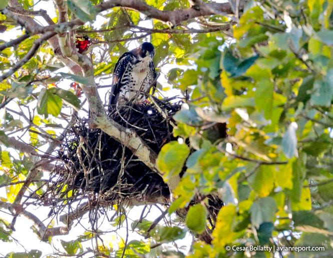 breeding gray-bellied Hawk