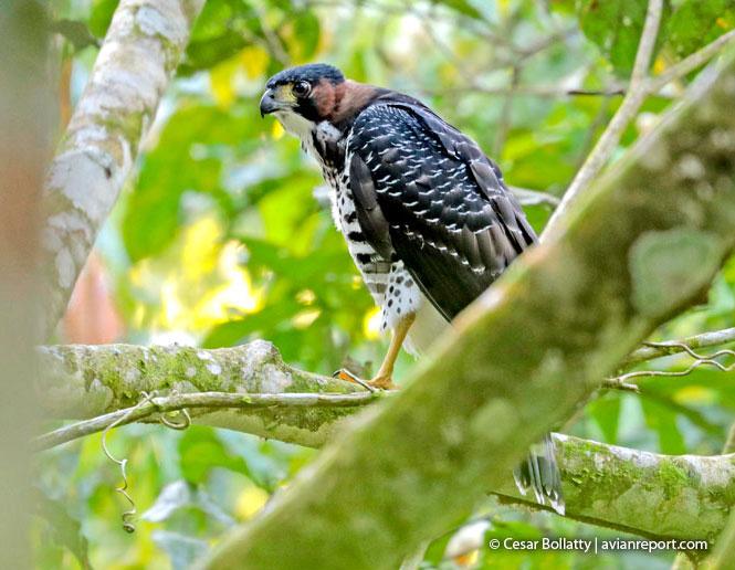 gray-bellied hawk breeding