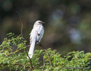 bird leucism