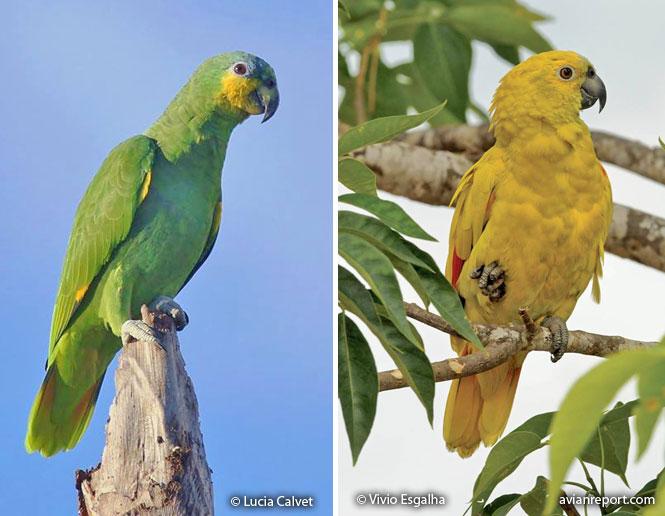 xanthochromatic birds