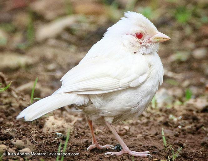 albinism in birds