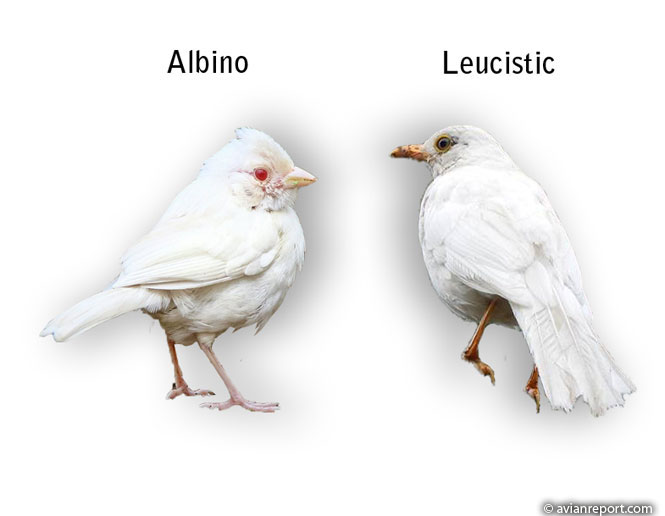 albino and leucistic birds