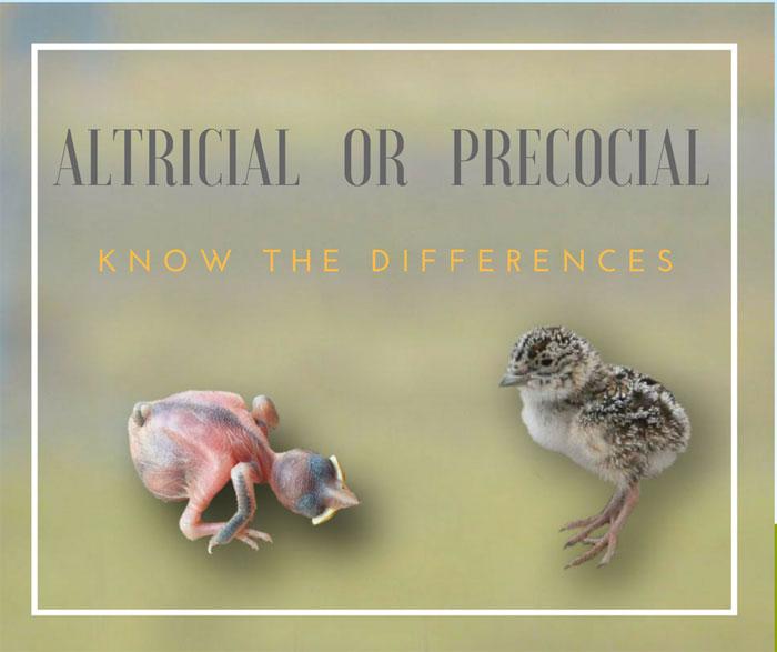 altricial-precocial birds