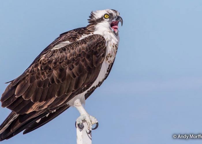 osprey pantanos de Villa