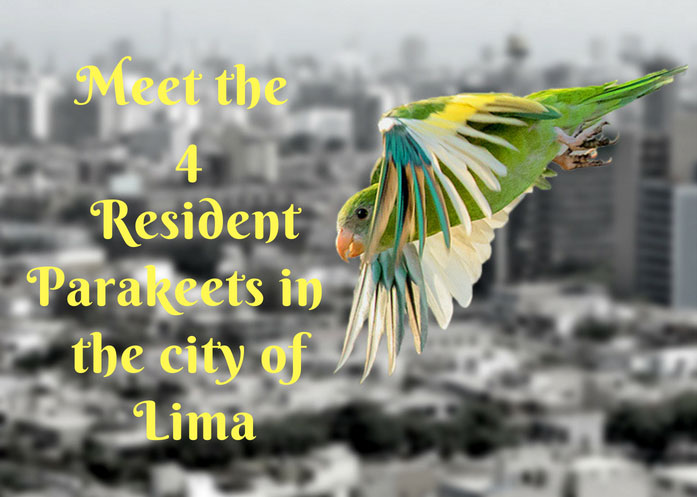 parakeets-in-lima