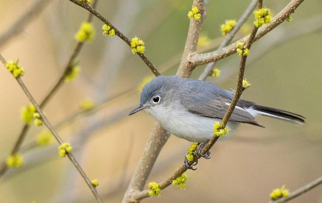 blue gray gnatcatcher o'leno state park