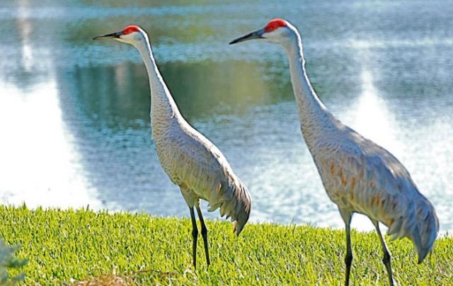 sandhill Crane oleno State Park