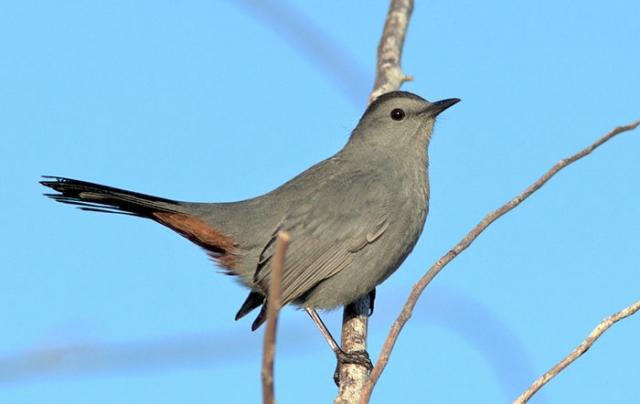 gray catcbird oleno state park