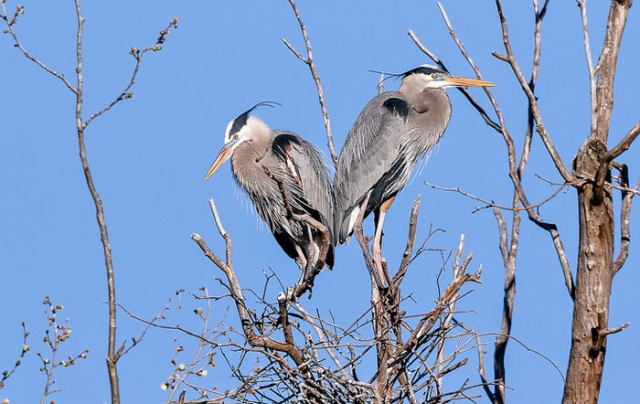 Great Blue Heron O'Leno State Park