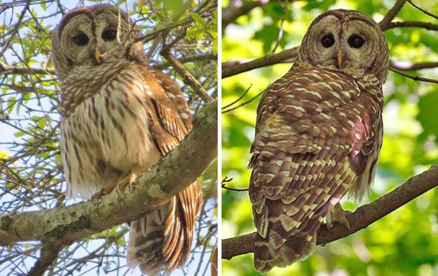 barred owl florida oleno state park