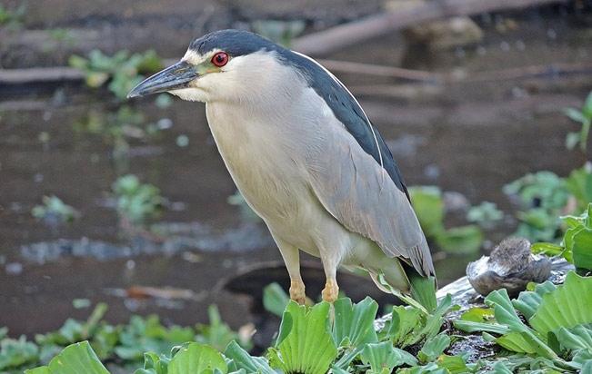Black-crowned Night-Heron el-olivar