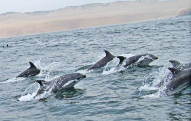 dolphins pantnos de villa