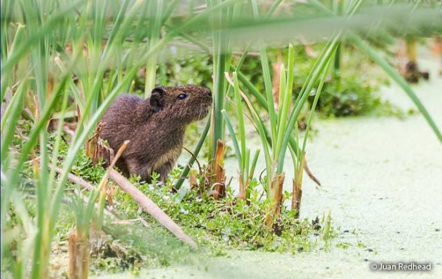 guinea pig pantanos de villa