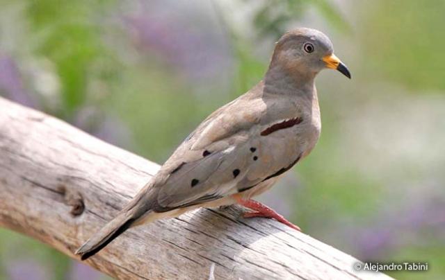 croacking ground dove