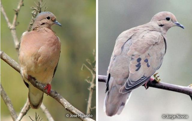 eared dove lomas de lachay