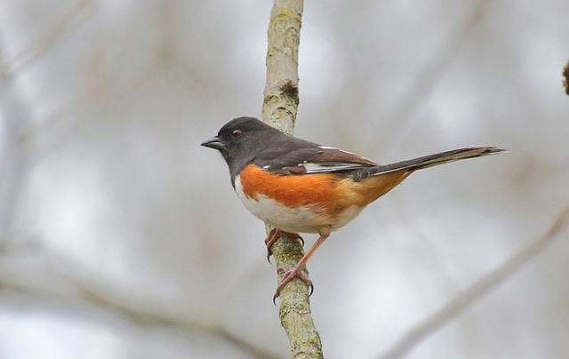 Eastern Towhee oleno state park