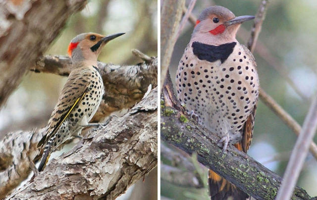 northern flicker o'leno state park