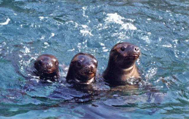 South American Sea Lion pantanos de villa