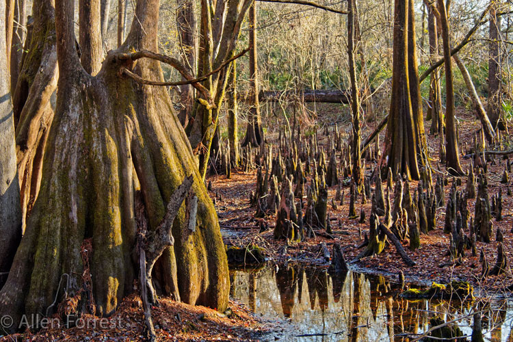 cypress swamp o'leno state park