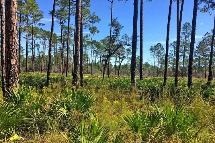 pine flatwoods o'leno state park