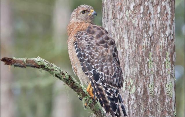 Red-shouldered hawk O'leno state park