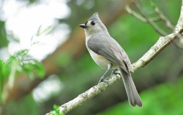 tufted titmouse oleno state park