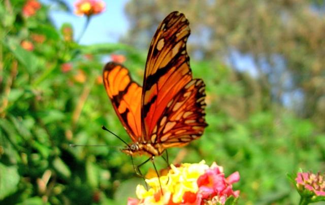 Juno Longwing Butterfly