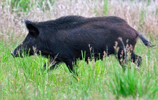 wild pig o'leno state park