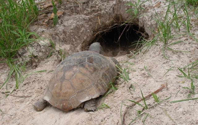 gopher tortoise oleno state park