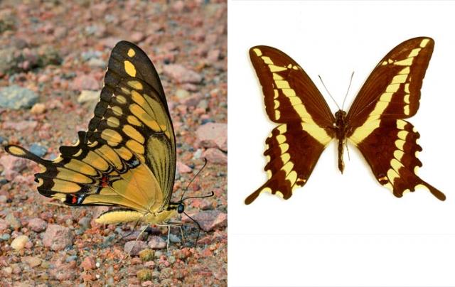 King swallowtail butterfly Lima
