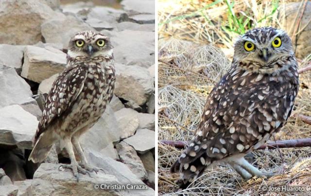 burrosing owl