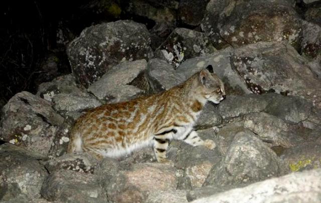 Pampas cat lachay