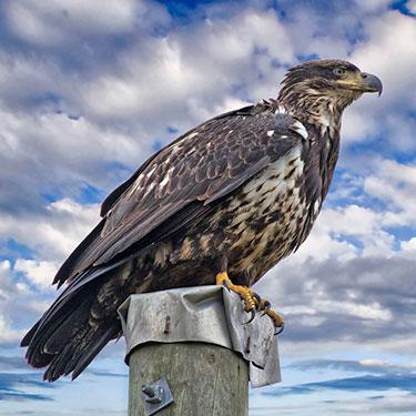 bald_eagle_sub_aduld