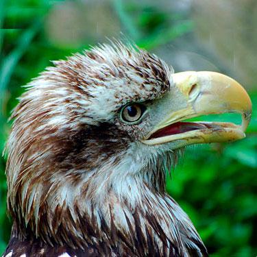 bald_eagle_immature