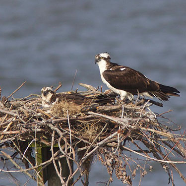osprey nest and parents