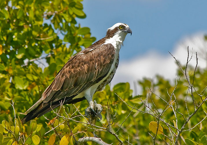 Frequently Asked Questions About Ospreys