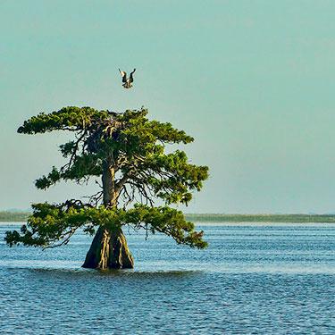 Where do Osprey nest