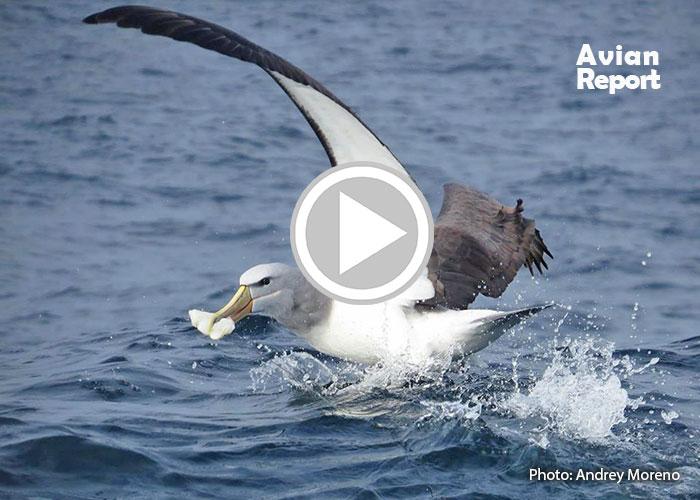 seabirds eat plastic