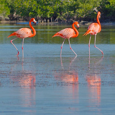american flamingo_Everglades National Park