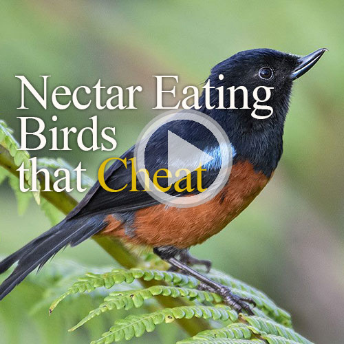 nectar eaters