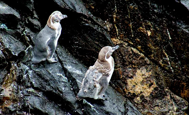 all-at-once molting Penguins
