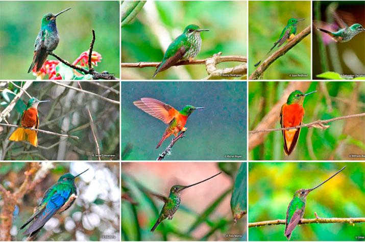 hummingbird diversity