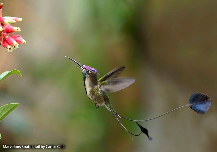 Hummingbird facts and information