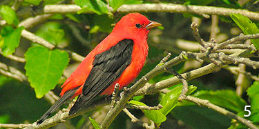 molting scarlet tanager adult