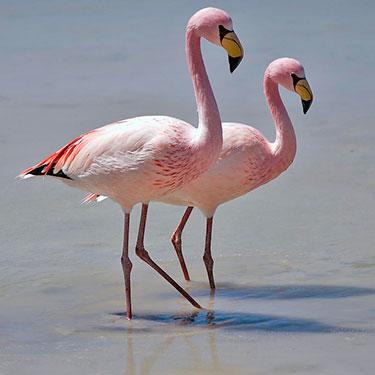 james' flamingo