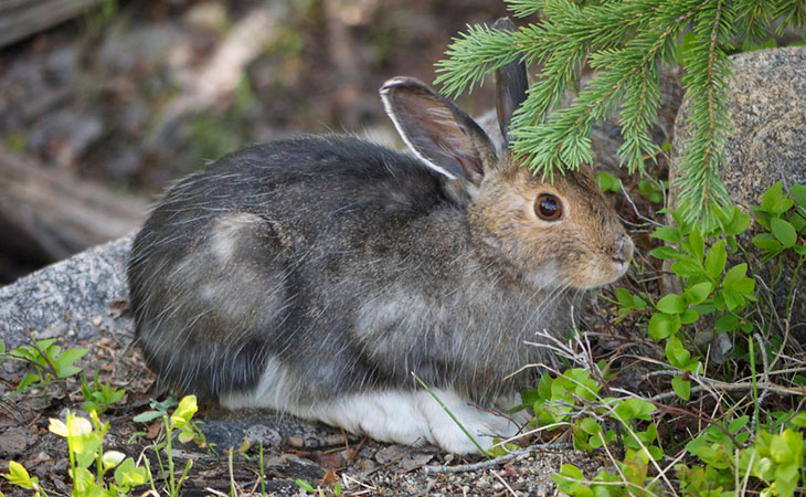 snowshoe hare acadia national park